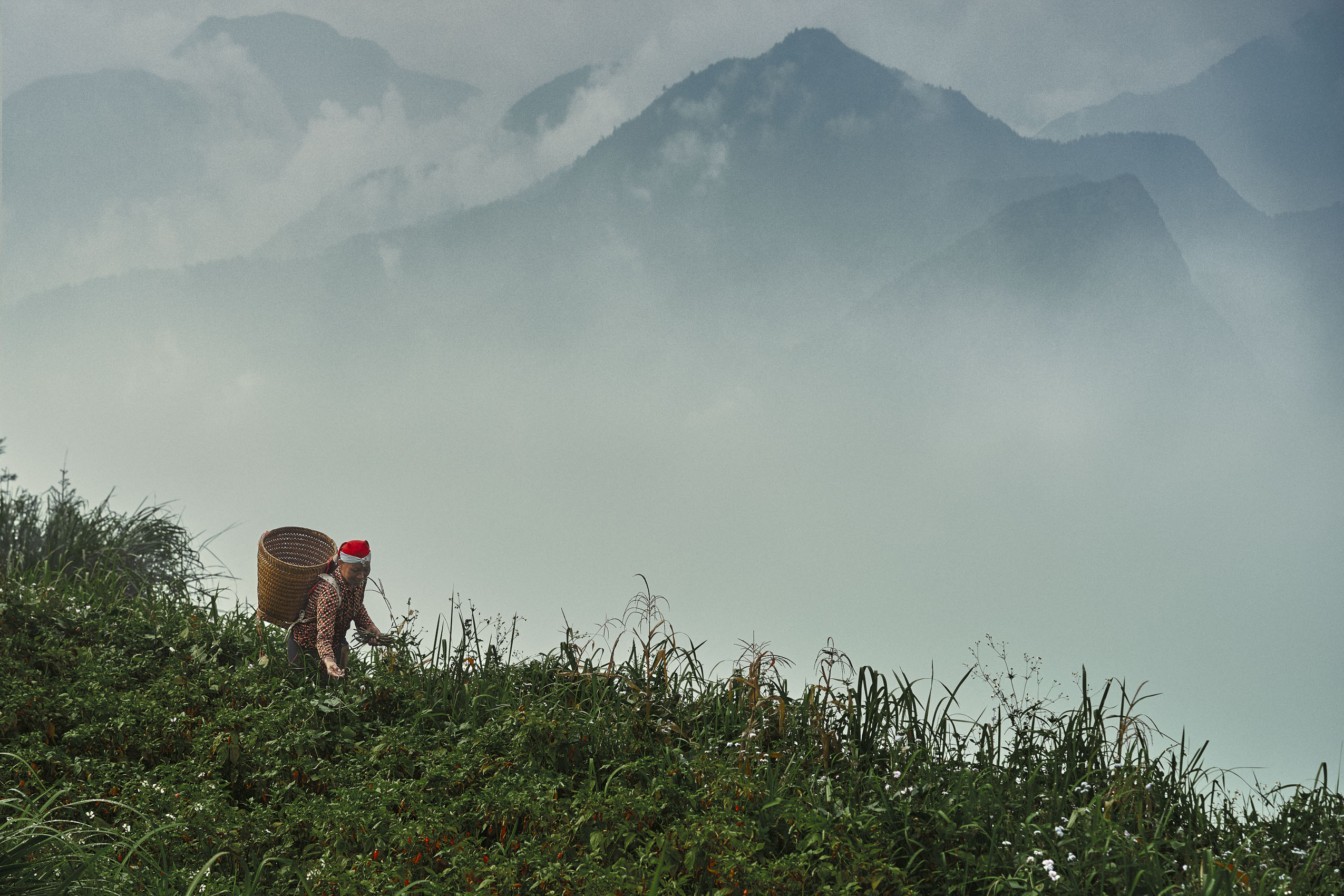 CHILI HARVESTING  - SAPA VALLEY